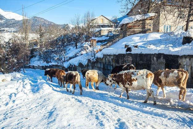 Krowy zimą w górskich wioskach, górna swanetia, gruzja.