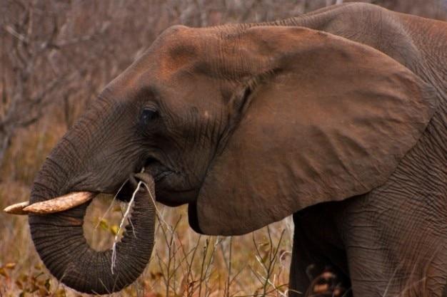 Kruger park słoń