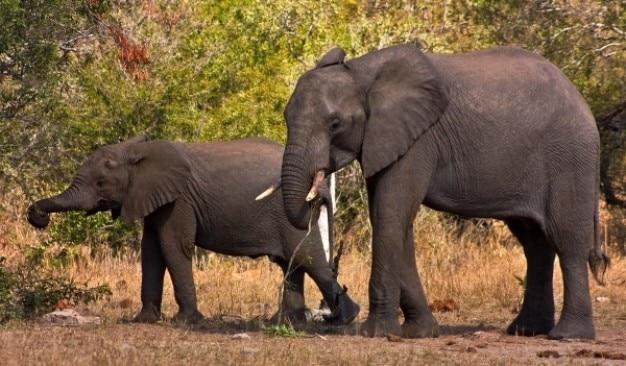 Kruger park, słonie