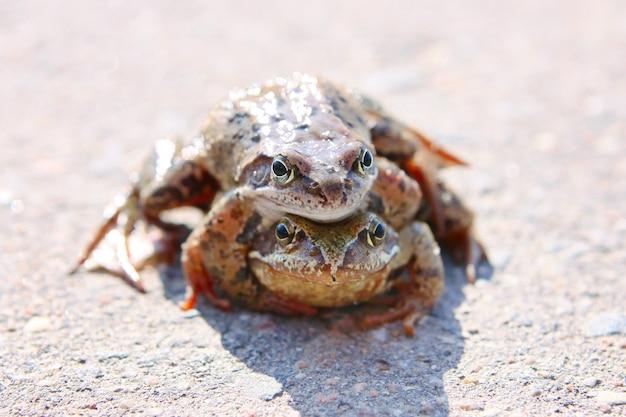Krycia żab