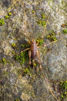 Krykiet jaskiniowy (dolichopoda linderi) endemiczny rzadki gatunek we wschodniej części katalonii, żyjący w wilgotnych jaskiniach żywiący się odchodami nietoperzy, resztkami warzyw itp.