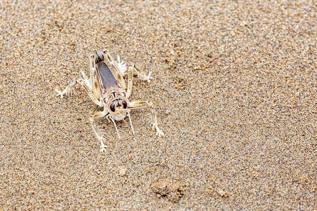 Krykiet Wydmowy Lub Schizodactylus Salweenensis Opisano Endemicznie Od Rzeki Salween, Premium Zdjęcia