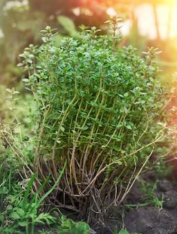 Krzak rosnącego tymianku z zielonymi liśćmi w ogródzie w świetle słonecznym