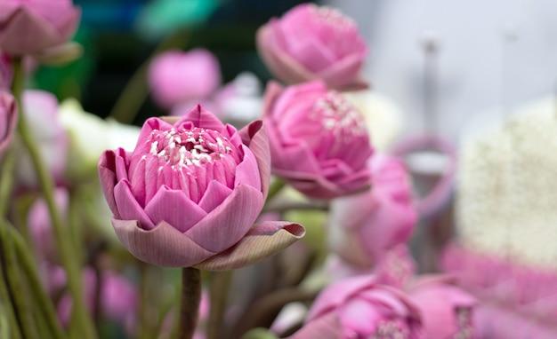 Krzak różowego lotosu dla szacunku dla buddy lub hinduskiego