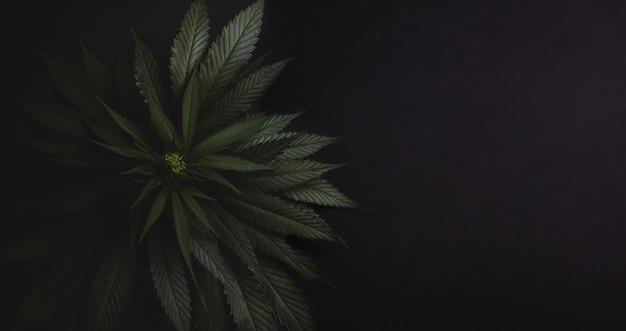 Krzak świeżej marihuany