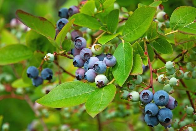 Krzew borówki północnej (vaccinium boreale) uprawiany w gospodarstwie ekologicznym