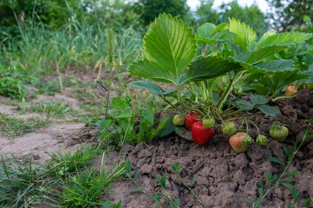 Krzew dojrzewających truskawek na grządkach