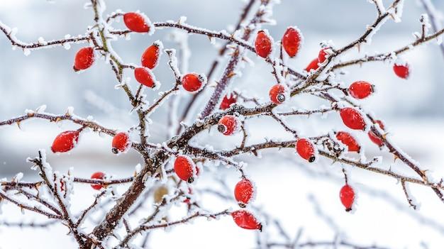 Krzew dzikiej róży z czerwonymi jagodami pokrytymi szronem