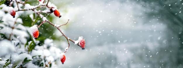 Krzew dzikiej róży z czerwonymi jagodami w lesie