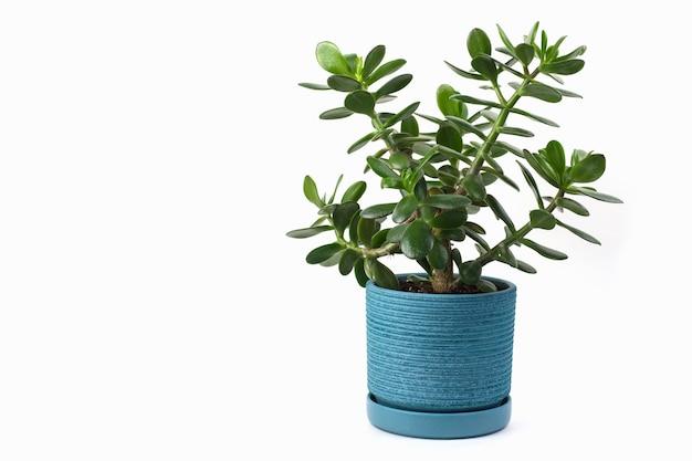 Krzew grubasa w niebieskiej doniczce na białym tle z miejscem na kopię