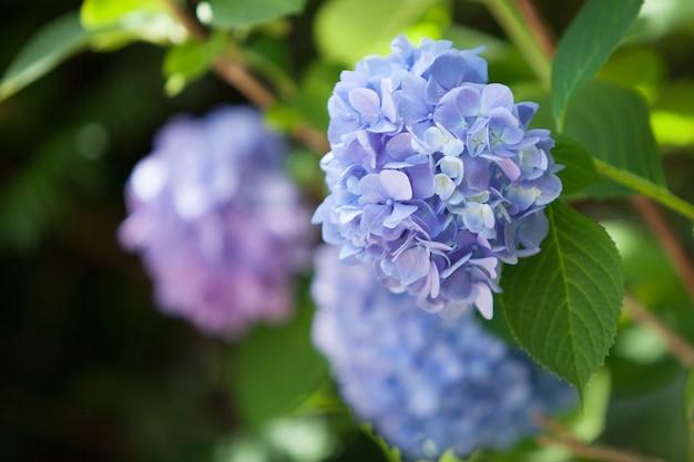 Krzew hortensji. piękny kwiatowy. jasny letni nastrój.
