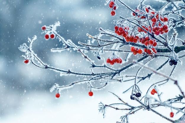 Krzew kaliny z oszronionymi czerwonymi jagodami i gałęziami podczas opadów śniegu