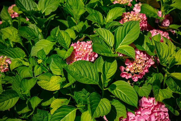 Krzew kwiatów hortensji w ogrodzie
