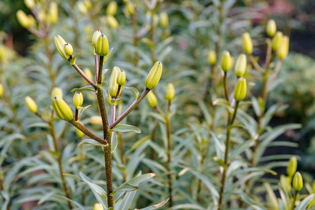 Krzew młodych pąków lilii w ogrodzie