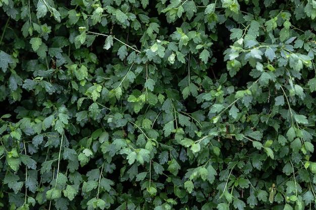 Krzew o jasnych zielonych liściach w deszczu z dużymi kroplami wody.