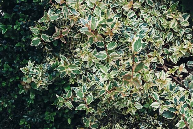 Krzew o pięknych liściach z fantazyjnym wzorem.