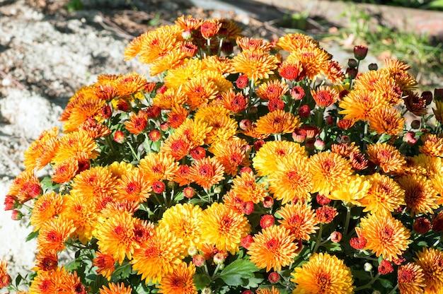 Krzew pięknych pomarańczowych jesiennych kwiatów chryzantemy