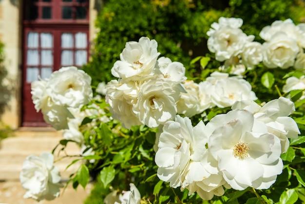Krzew pięknych róż w ogrodzie. poziome strzał z selektywną ostrością