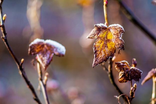Krzew porzeczki podczas pierwszych przymrozków. początek zimy w ogrodzie