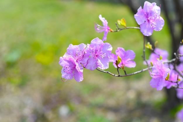 Krzew rododendronów mucronulatum rosnący na dalekim wschodzie rosji