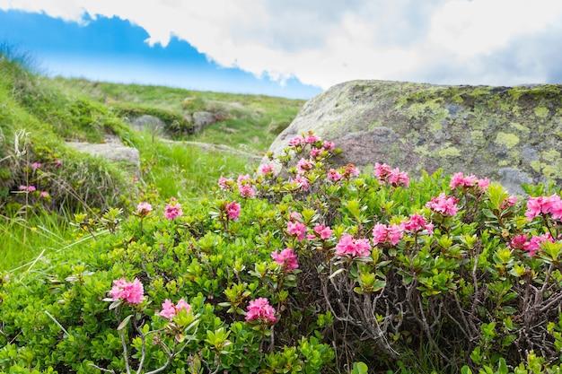 Krzew rododendronów z bliska z włoskich alp. piękno natury. dzikie kwiaty