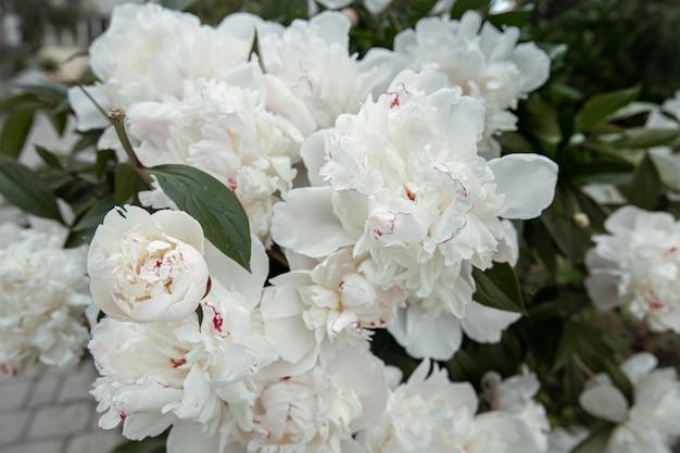 Krzew świeżych kwitnących wiosennych kwiatów piwonia z bliska.
