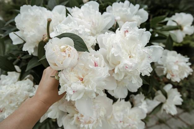 Krzew świeżych kwitnących wiosennych kwiatów piwonii z bliska