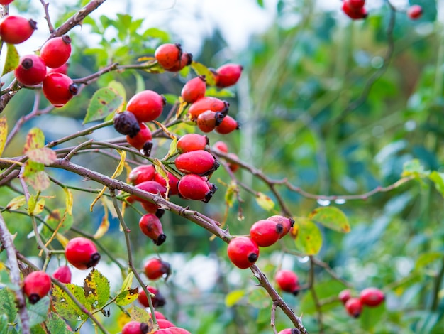 Krzew z czerwonymi jagodami dzikiej róży z bliska