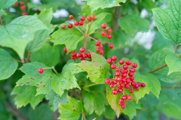 Krzew z małymi czerwonymi jagodami