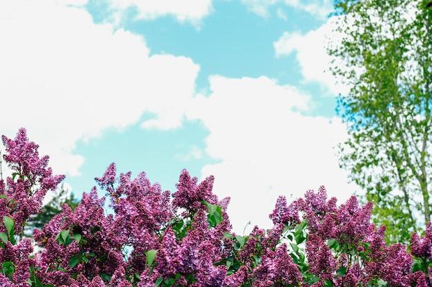 Krzewy bzu bujnie kwitnące bzy wiosną na tle nieba.