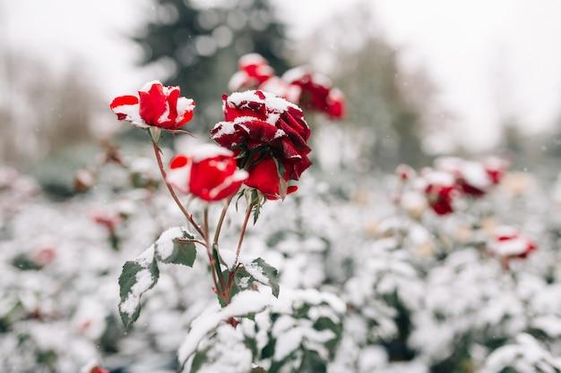 Krzewy czerwonych róż pokryte śniegiem w winter park. pod warstwą białego śniegu kwitną zielone krzewy ciemnoczerwonych róż.