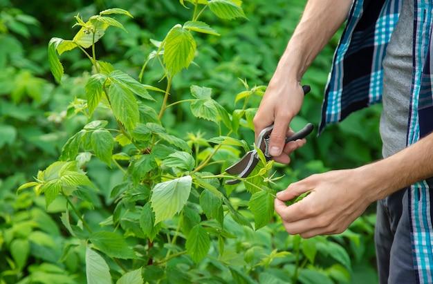 Krzewy do przycinania ogrodników. ogród.