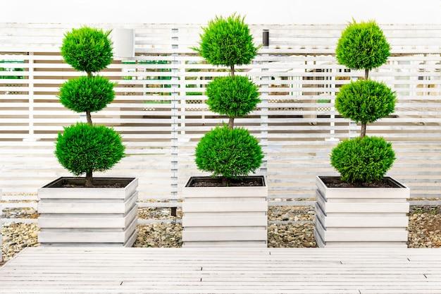 Krzewy obszyte w formie kulki jedna na drugiej w dużych drewnianych donicach pomalowanych białą farbą