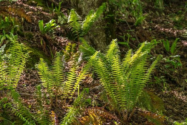 Krzewy paproci w lesie