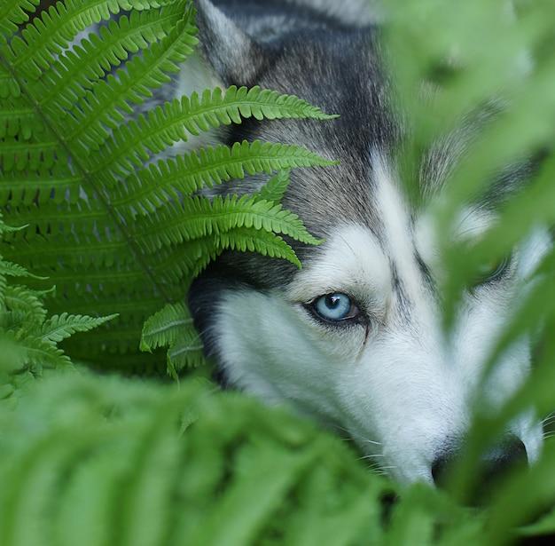 Krzewy psa rasy husky o zielonej paproci, widoczne niebieskie oko i część pyska.