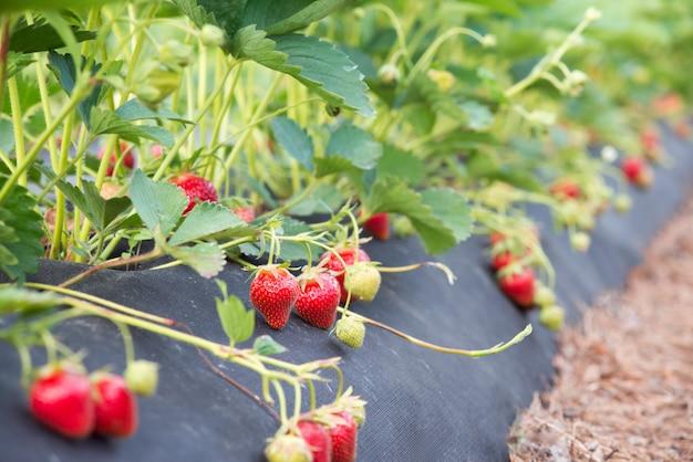 Krzewy truskawkowe z wieloma dojrzałymi czerwonymi jagodami. sadzenie i uprawa ekologicznej truskawki przy użyciu nowoczesnych technologii i sprzętu