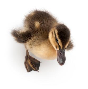 Krzyżówka lub dzika kaczka (anas platyrhynchos), to kaczka zimująca - anas platyrhynchos