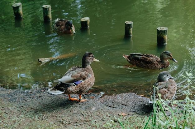 Krzyżówka nurkuje blisko stawu z zieloną wodą