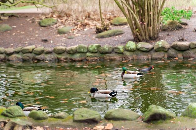 Krzyżówka nurkuje na wodzie w parku