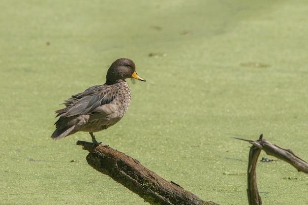 Krzyżówka ptak siedzący na drewnianym pniu z niewyraźną zieloną ścianą
