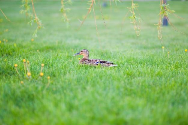 Krzyżówka ukrywa się w wysokiej trawie malard ukrywa się w trawie. kaczka odpoczywa