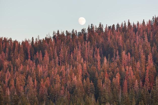 Księżyc w pełni rośnie nad drzewami iglastymi przed jasnym niebem o zachodzie słońca