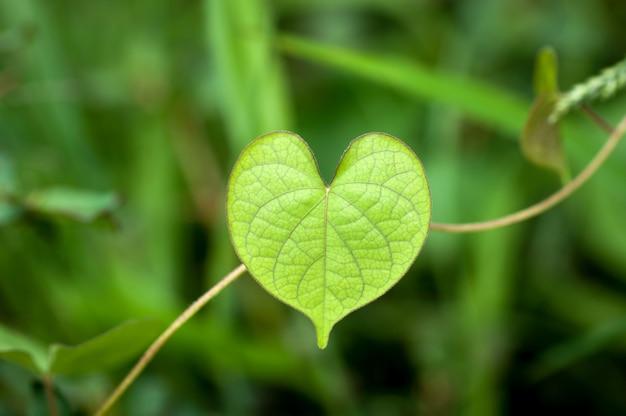 Kształt serca zielone liście