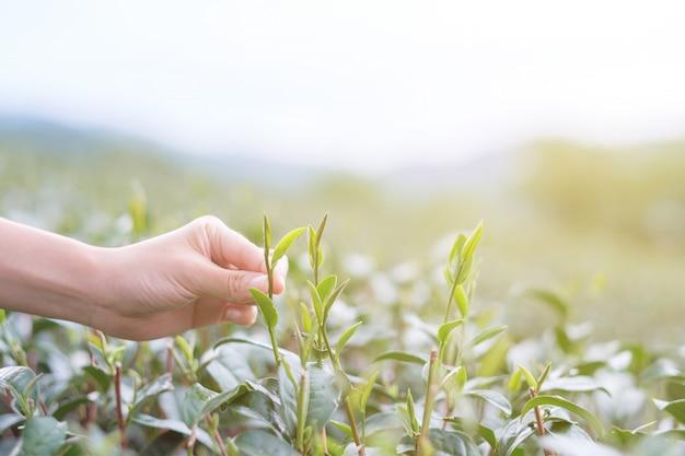 Ktoś wybiera liści herbaty.