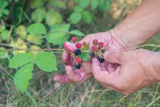 Ktoś zbiera jagody w polu