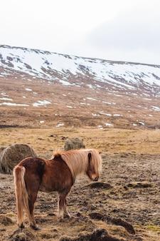 Kuc islandzki idąc przez pole pokryte śniegiem