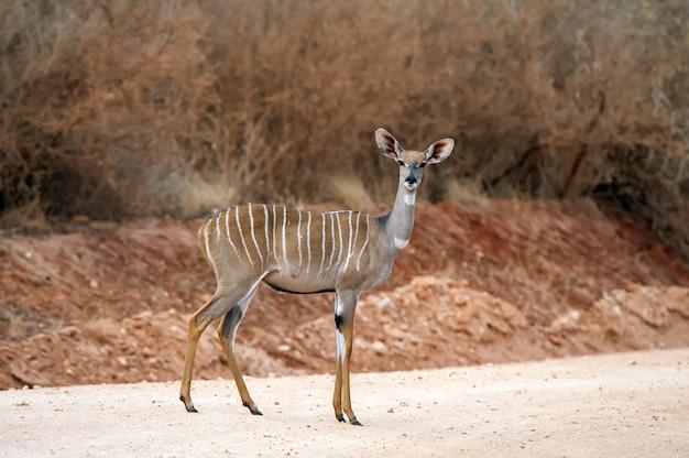 Kudu większy (tragelaphus strepsiceros). dzikie zwierzę z afryki