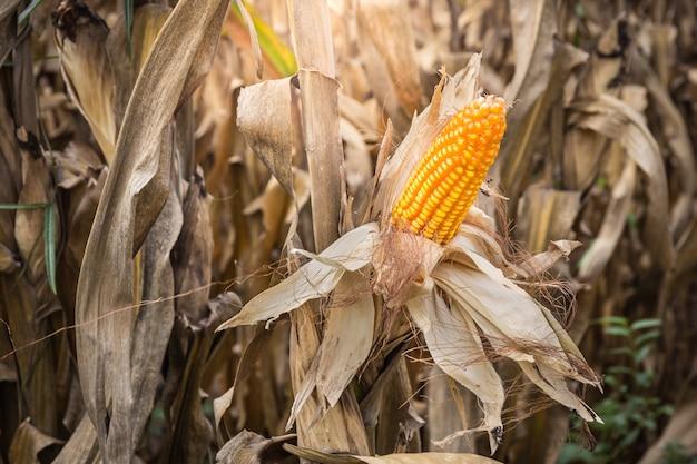 Kukurudza jest czekać żniwa w polu przy wsią tajlandia