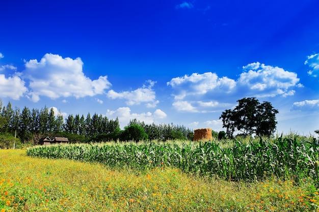 Kukurydza i kwiaty do nieba