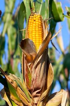 Kukurydza kolby koloru żółtego. dojrzałe zbiory zbóż, sfotografowany z bliska. błękitne niebo w tle
